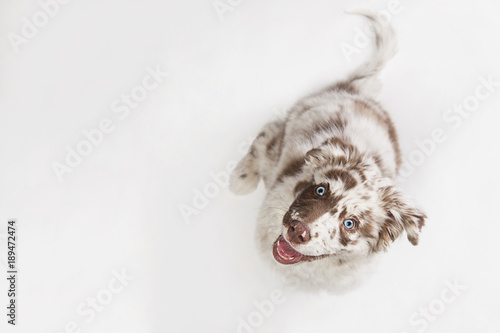 Poster Chien Funny top view studio portrait of the smilling puppy dog Australian Shepherd lying on the white background, gazing and waiting