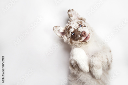 Poster Hond Funny studio portrait of the smilling puppy dog Australian Shepherd lying on the white background, giving a paw and begging