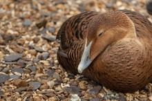 A Brown Eider Duck Sleeping On...