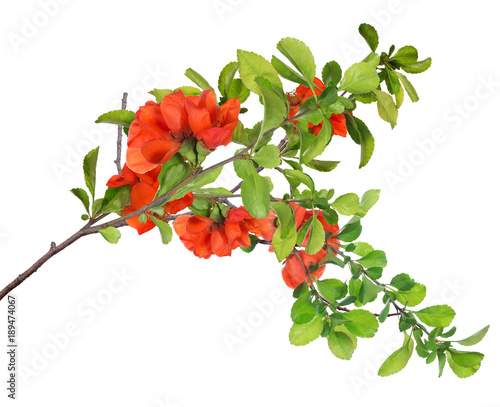 blossoming isolated pomegranate lush branch