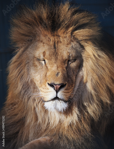 Fotobehang Leeuw Lion serious portrait african close-up