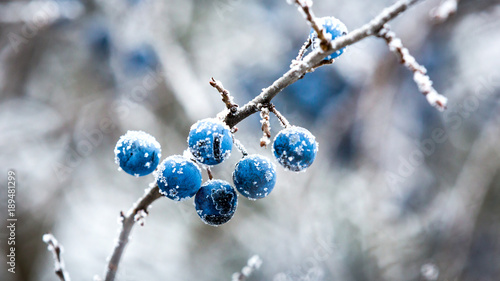Photo  frozen twig with blackthorn berry