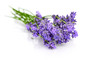 Bunch flower lavender therapeutic herbs, isolated on white