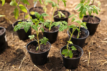 Young Tomato Plants In Pots Re...
