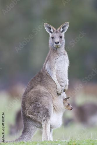 Fotobehang Kangoeroe Kangourou gris