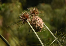 Close Up Weaver Bird Nest Between Two Reed Seed Heads