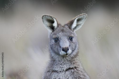 Spoed Foto op Canvas Kangoeroe kangourou gris