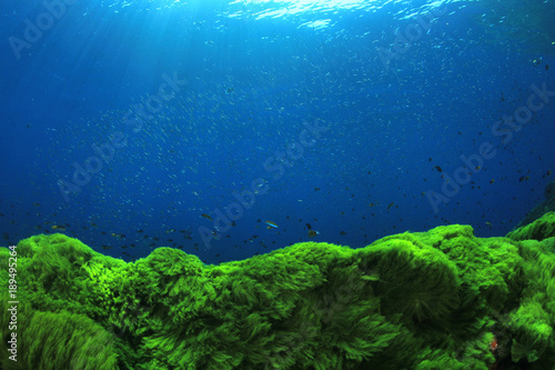 Green algae blue water underwater background