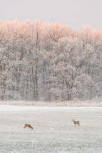 Couple Of Roebucks In Front Of Frozen Trees