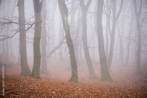 Wall Murals Forest Thick fog in the dark mountain forest in late autumn. Cold waether, winter is comming. Scary woods