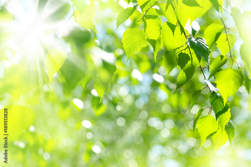 Spring bright natural background with fresh birch leaves