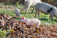 Young Pigs Grazing Grass High In The Mountains. Though Life, Pollluted Nature With Garbage Around