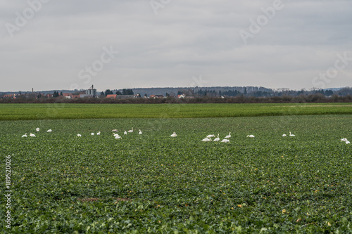 Foto auf AluDibond Schwan Meadow with group of swans resting and eating grass. Germany Hesse