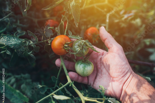 Farmer examining tomato fruit grown in organic garden
