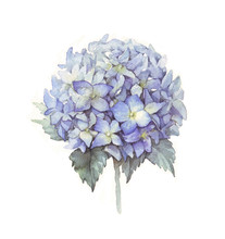 Hydrangea Flower Blue. Watercolor Illustration Of A Blue Hydrangea Blossom Hand Painted. Botanical Illustration. Illustration For Greeting Cards, Invitations, And Other Printing Projects.