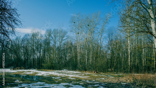 trees and melting snow in a meadow. Early spring.
