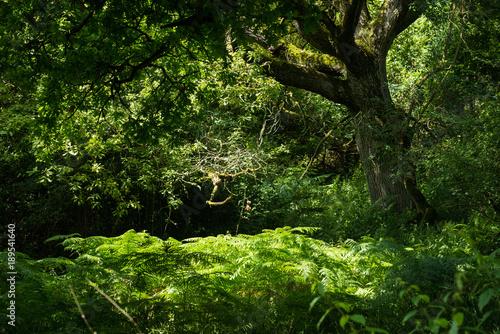 Fototapeta Gentle light in the forest of Wychwood, UK. obraz na płótnie
