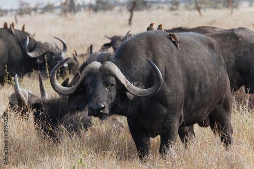 Keuken foto achterwand Buffel African Buffalo cape buffalo