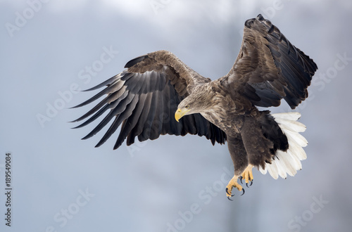 Deurstickers Eagle White tailed eagle (Haliaeetus albicilla)