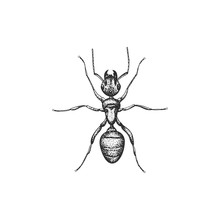 Ant Vector Draw