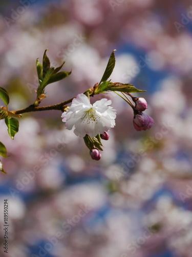 Foto op Plexiglas Magnolia tree with beautiful pink blossoms