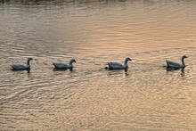 4 White Geese Swimming In A Li...