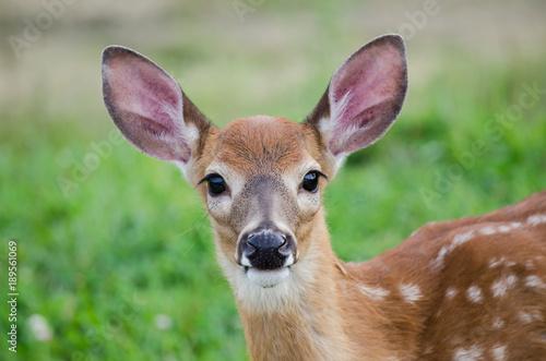 Photo Cute baby deer staring