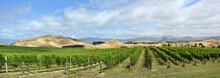 Sauvignon Blanc Grape Vines In...
