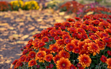 Colorful Autumn Chrysanthemum....