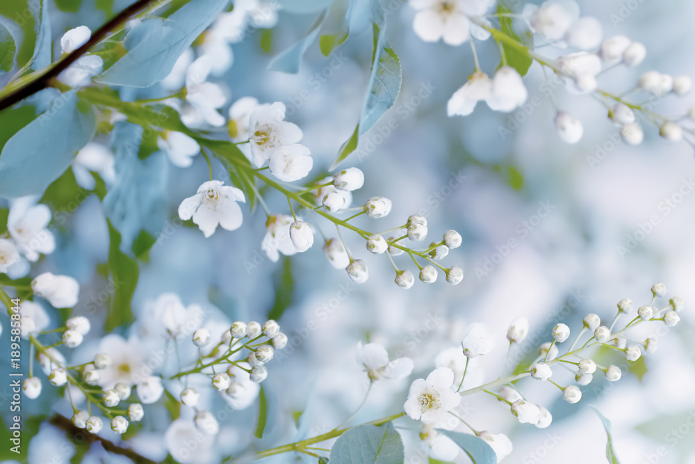 Obraz Floral spring background, soft focus. Branches of blossoming bird-cherry (Prunus padus) in spring outdoors macro in vintage light blue pastel colors. Delicate elegant airy artistic image of spring. fototapeta, plakat