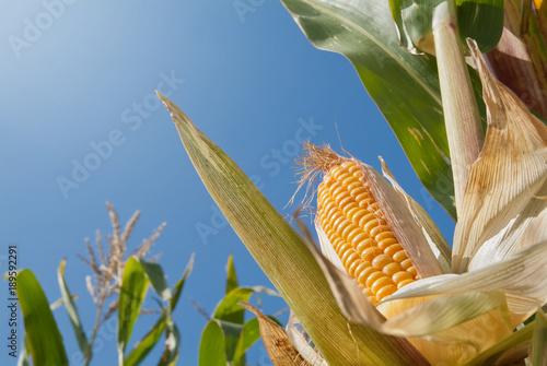 Mais aus der Froschperspektive