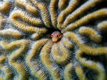Spotjaw Blenny Fish, Acanthemb...