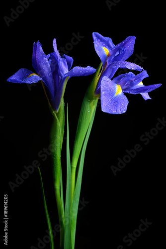 Water drops on spring iris flower isolated on black background.