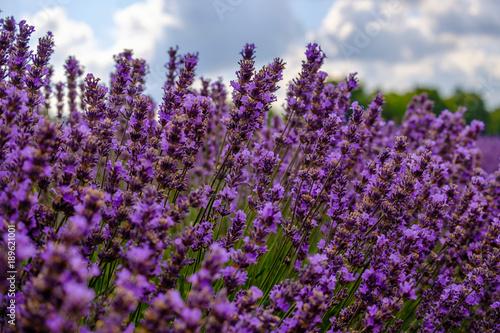 Poster Lavendel Fleurs de lavande en été.