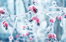 Colorful Beautiful Branch With Ripe Red Berries Of Wild Rose Covered With White Frosty Crystals Of Frost In The Winter Garden