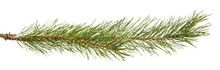 Pine Branch Isolated On White ...