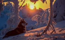 Siberian Husky In Beautiful Sunset