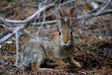 Cottontail Rabbit Portrait (Le...