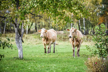 Two Beautiful Cows Standing In...