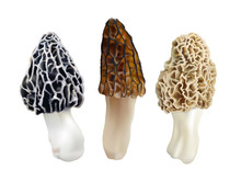 Morel Mushrooms. Morchella Esc...