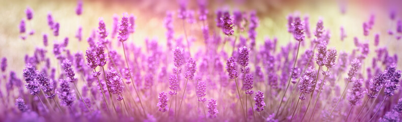 Selective focus on lavender flower, lavender flowers lit by sunlight in flower garden