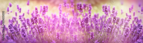 Foto op Aluminium Lavendel Selective focus on lavender flower, lavender flowers lit by sunlight in flower garden