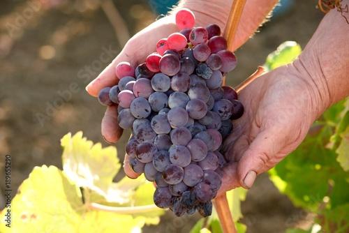 Photo Grape harvest in Sardinia