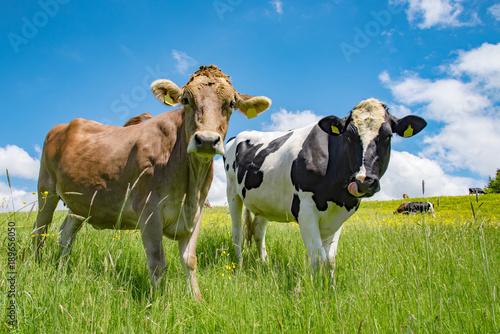 Photo Stands Cow Zwei hübsche Kühe auf einer frischen Sommerwiese