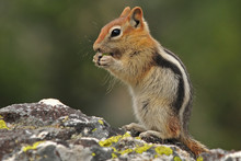 Chipmunk Eating