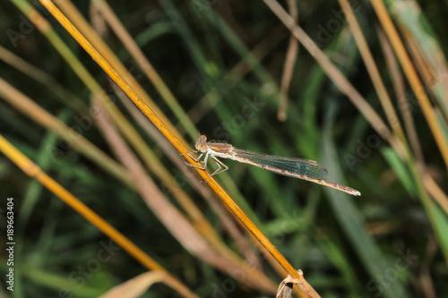 Gemeine Winterlibelle, Sympecma fusca