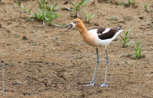 Photo  An American Avocet Calling its Mate