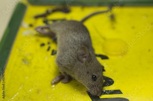 Fotografie, Obraz  Adhesive mouse trap