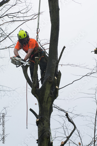 Tree surgeons climbing with ropes and cutting trees Canvas Print