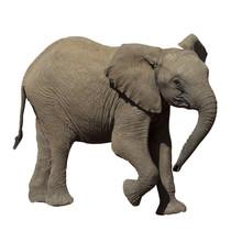 Baby Elephant. African Elephan...
